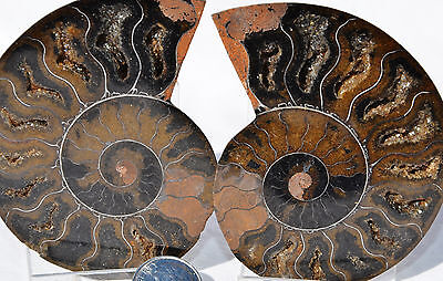 "7612 RARE 1in100 BLACK Ammonite PAIR Deep Crystals 110myo FOSSIL LRG 3.1"" 79mm"