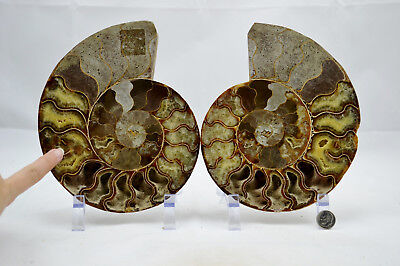 "RARE 1 in 100 BLACK Ammonite PAIR Deep Crystals XXLARGE 7.3"" 185mm e3192xx"