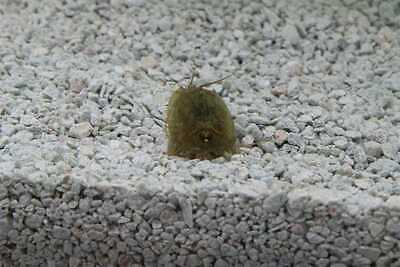 Triops Cancriformis Tadpole Shrimp Starter Kit triopseggs, feed and instructions