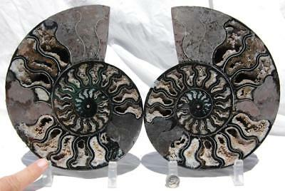 "RARE 1-n-100 BLACK Ammonite PAIR Deep Crystal 110myo FOSSIL XL 205mm 8.2"" 1441xx"