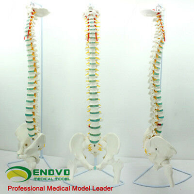1:1 Bendable Human Spinal Pelvis And Femoral Model