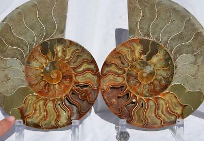 "Cut Split PAIR Ammonite Deep Crystal Cavity 110myo Fossil 205mm XXXL 8.0"" 1499xx"