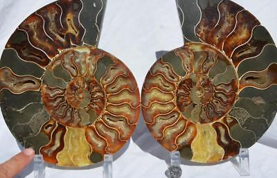 "Cut Split PAIR Ammonite Deep Crystal Cavity 110myo Fossil 205mm XXL 8.0"" 1513xx"