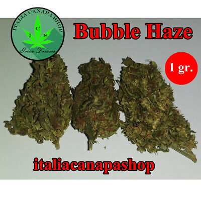 Cannabis sativa light 1 gr BUBBLE HAZE INDOOR alta qualità alto infiorescenze