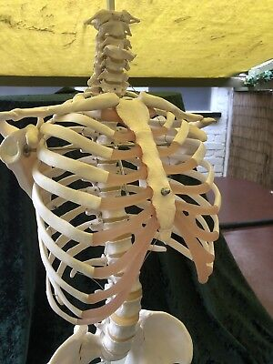 life size anatomical skeleton Torso