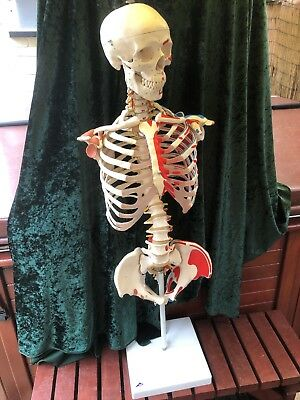 life size human skeleton anatomical Torso