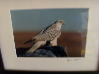Gyrfalcon Signed And Framed By Photographer John Flower