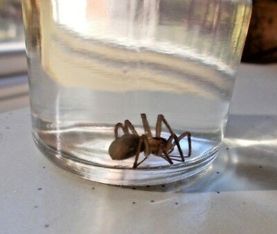 Brown Recluse Spider Preserved in a Jar for Collectors or Science