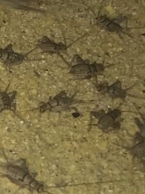 Live Crickets 1000 Small from Central Valley Cricket