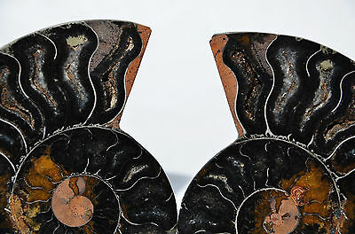 "RARE 1 in 100 BLACK PAIR Ammonite Crystal LARGE 104mm Dinosaur FOSSIL 4.1"" n2038"