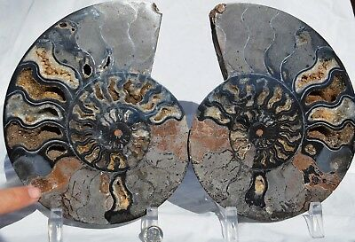 "Split PAIR Ammonite Deep Crystal Cavity 110myo Fossil 205mm XXLARGE 8.1"" n2520xx"