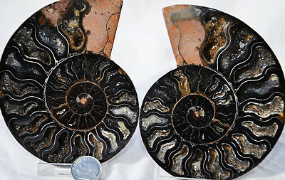 "RARE 1 in 100 BLACK PAIR Ammonite Crystal LARGE 104mm Dinosaur FOSSIL 4.1"" n1361"