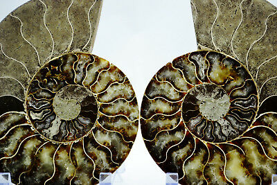 "Pair Ammonite Multi-Color Crystals 177mm Dinosaur Fossil XLG 7.0"" 110myo e2968xx"