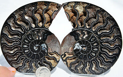 "RARE 1 in 100 BLACK PAIR Ammonite Crystal LARGE 94mm Dinosaur FOSSIL 3.7"" n2185"