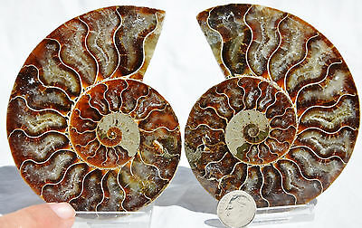 "Dinosaur PAIR Ammonite MultiColor Crystals LARGE 100mm 110myo FOSSIL 4.0"" n1621"