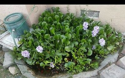 12 Water Hyacinth Plants Bio filter Pond Plant Pond Flower Good for Koi Ponds