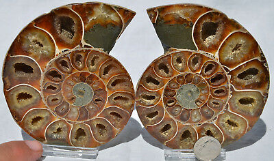 "Cut Split Pair RARE ANAPUZOSIA Ammonite D-shaped LARGE 104mm Fossil 4.1"" n8522"