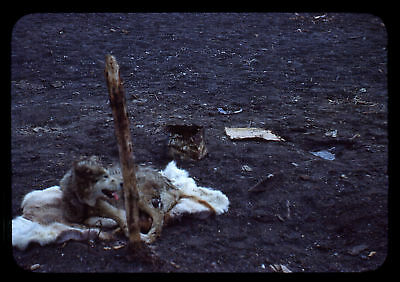 (095) Vintage 1950s 35mm Slide Photo - BARROW AK - Eskimo Camp, Cape Smythe
