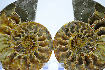 """Fossil Pair Ammonite Great Color Crystal Cavities 147mm XXLRG 5.8"""" 155mm e3017xx"""