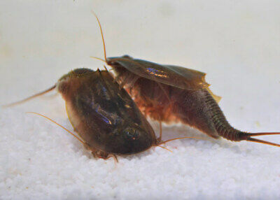 Triops Cancriformis Mallorca Starter Kit feed & instructions by Triops King