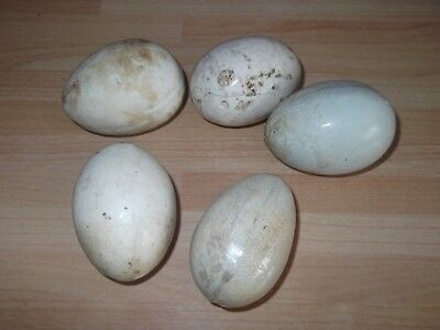 Antique Vintage Pottery Dummy Eggs - Clutch of 5 Chicken Nesting Broody Hen