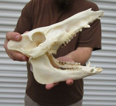 Real 11 inch North American Wild Boar Skull Pig Swine Taxidermy #36179