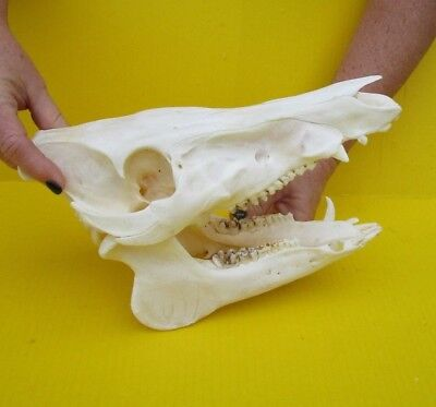 Real 11 inch North American Wild Boar Skull Pig Swine Taxidermy #36181