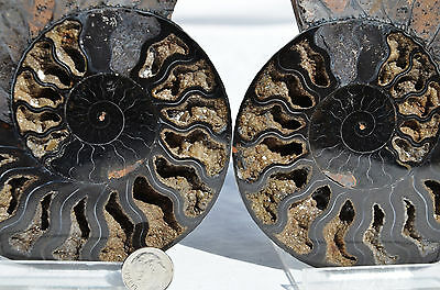 "RARE 1 in 100 BLACK PAIR Ammonite Crystal LARGE 147mm Dinosaur FOSSIL 5.8"" n1876"