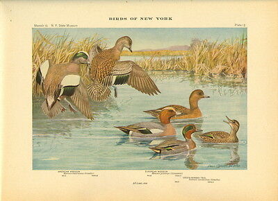 Rare 1916 Antique Bird Print ~ Widgeon Teal Duck ~ Excellent Details
