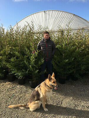 Pallet 10X 5-6Ft Extra Large Green Leylandii Hedging Trees - 10L Potted