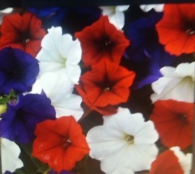 Trailing  Petunia  Flower  Seeds
