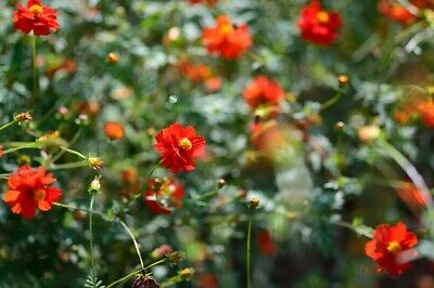 75 Cosmos red sulfureus seeds. Butterfly and hummingbird attractor.