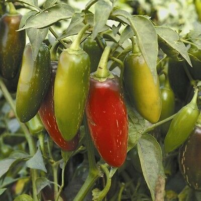 PEPPER Jalapeno ORGANIC SEED. Hot pepper and prolific grower. For chilli dishes.