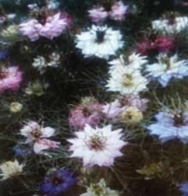 Love in The  Mist  Mixed  Flower  Seeds