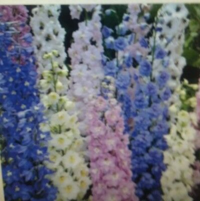 Delphinium  Pacific  Giant  Mixed  Flower  Seeds