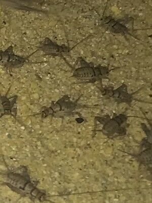 Live Crickets Assorted Med, Large Mixed 250, 500, 1000