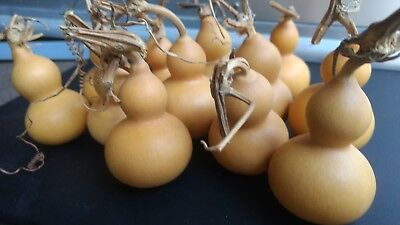 """10 Mini bottle gourds Good Shape dry and clean 2.5"""" high"""