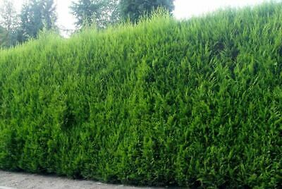 5X Large 3Ft Green Leylandii Trees - Evergreen Hedging Plants - 2/3L Potted