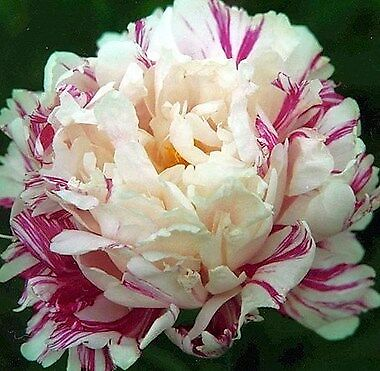 """Beautiful Peony """"CANDY STIPE"""" Healthy Root Plant (Not seeds)!"""