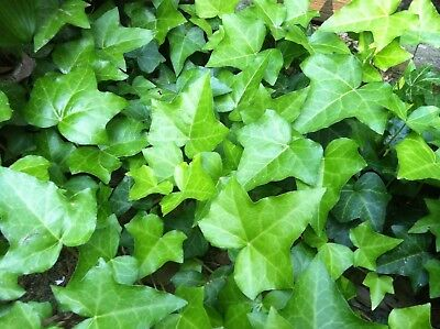 10 English Ivy Live Roots Ground Cover Border or Pots Shade Bare Root