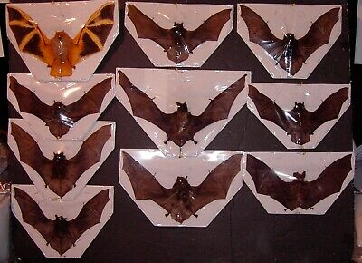 Bat Taxidermy Whole 10 Lot 6 Diffe Species Some Small Great For Framing