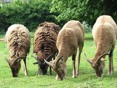 Soay raw unwashed wool fleece knitting weaving spinning 1.2kg SPECIAL OFFER
