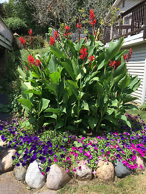 Canna Lily Bulbs Rhizomes Group Of 20 Red King