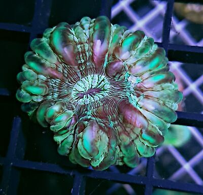 Stunning Stained Glass Cynarina LPS coral