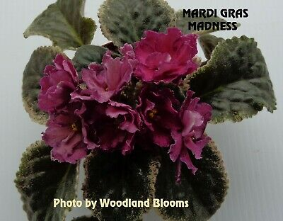 Plants & Seedlings African Violet BUDDING Starter Plant LACEY'S CLAIRE Variegated Home & Garden