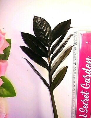Rare Black ZZ Raven Plant Highly Requested Zamioculcas Well Rooted HousePlant