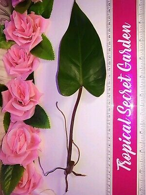 Rare Queen Red Philodendron Tropical Houseplant XL Rare Starter Plant Cuttings