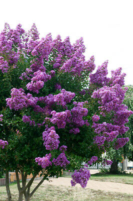 Lagerstroemia indica Violet in 9cm pot potential as flowering bonsai