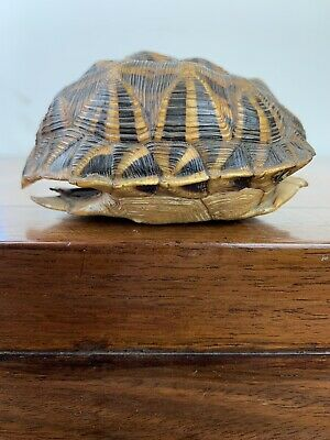 antique chinese /Japanese turtle shell