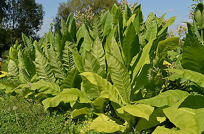 1000 tobacco Virginia gold seeds